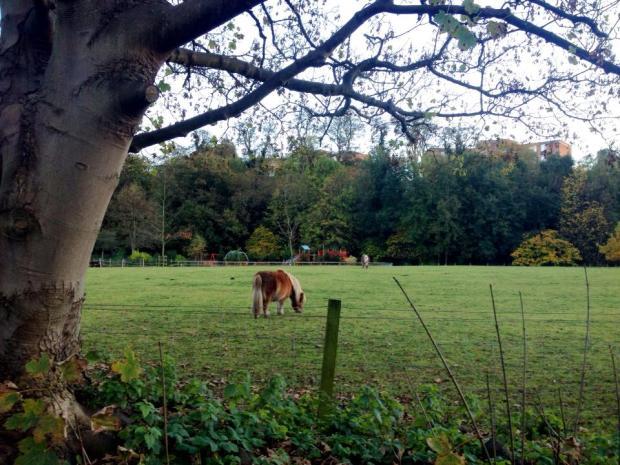 Shetland ponies in Cramond